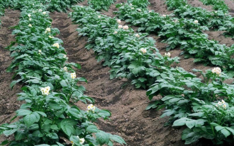 Картофель раздора: Кто выдумал байку о том, что россиянам нельзя сажать этот овощ